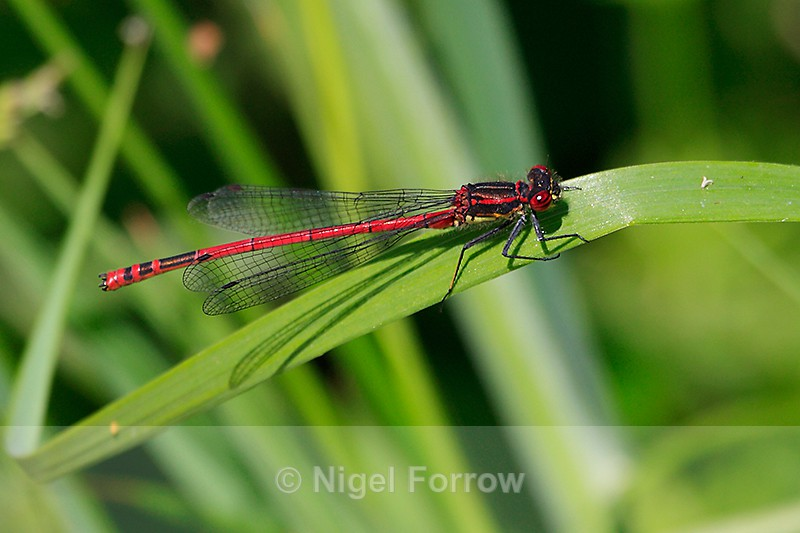 Large Red Damselfly (male) at Otmoor - INSECTS