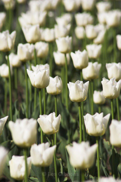 white tulips1 - Prague