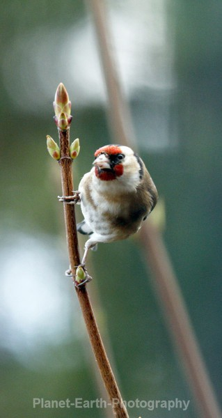 Goldfinch 7 - UK Wildlife