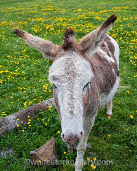Hebridean Donkey - Scottish Highlands