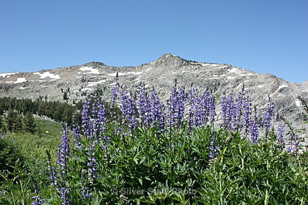 Blue Lakes Lupine - Flowers