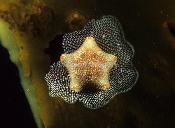 Asterina gibbosa - Starfish (Echinodermata)