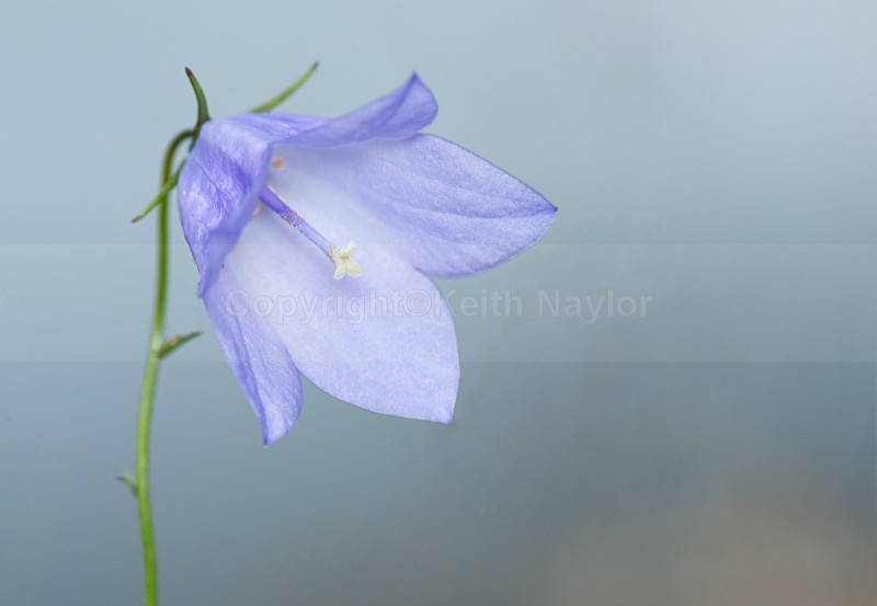 Harebell - Latest Work