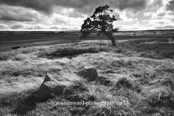 Windswept Tree. Ref 1279 - The Pennines and The Lake District