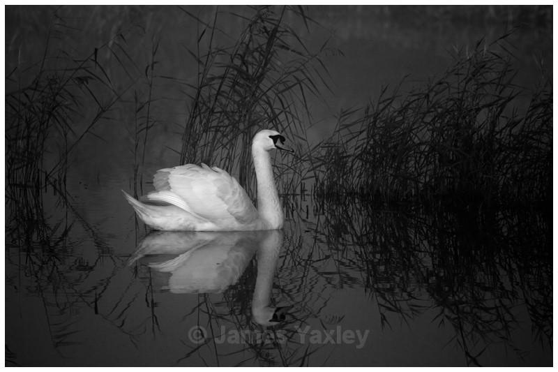 Mute Swan amongst the Silent Reeds - Best of British Wildlife