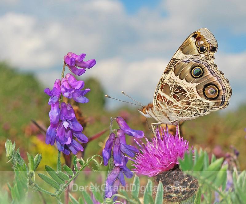 In a Butterfly's  World: American Lady - 2 - Butterflies & Moths of Atlantic Canada