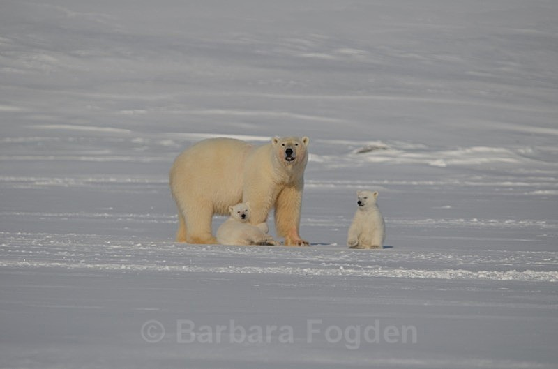 Polarbear 0487 - Wildlife