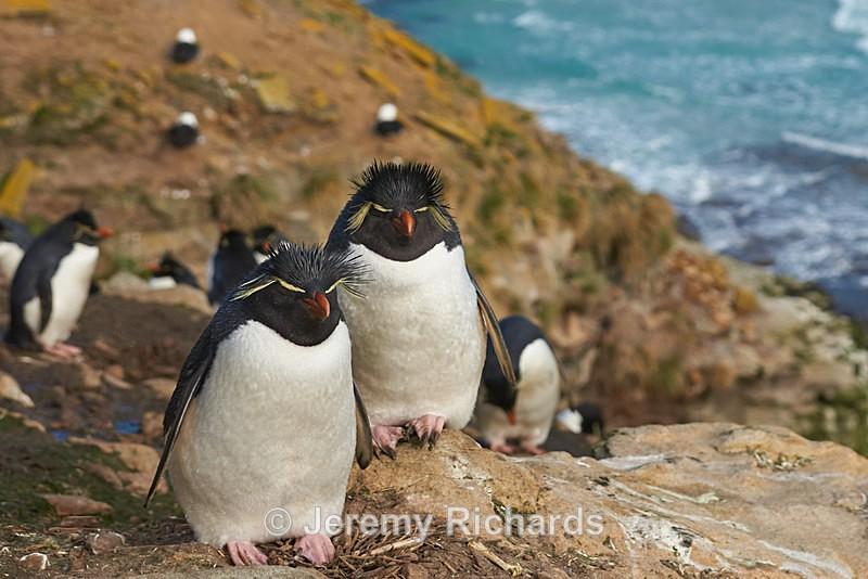 Rockhopper Penguins - Saunders Island