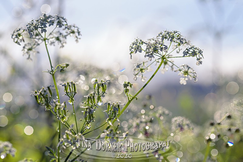 Shiny Cowparsley - Spring & Summer in The Forest of Dean & Wye Valley and BLUEBELLS!