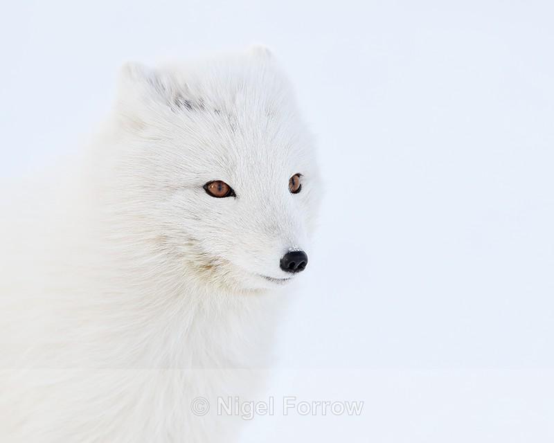 Arctic Fox close, Svalbard, Norway - Arctic Fox