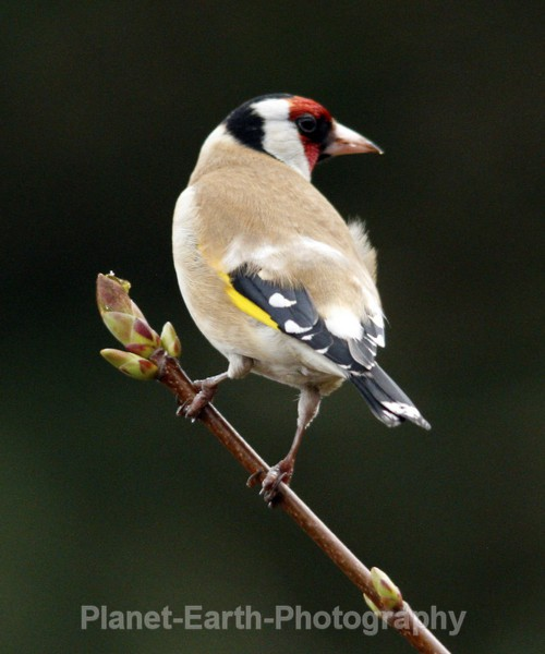 Goldfinch 8 - UK Wildlife