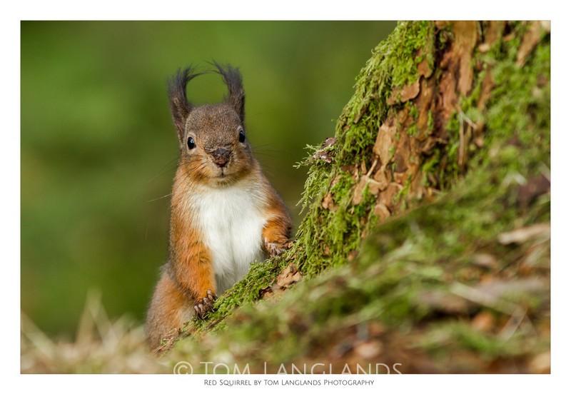 Red Squirrel - Fine Art Prints