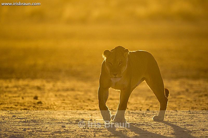 Twilight - Lion