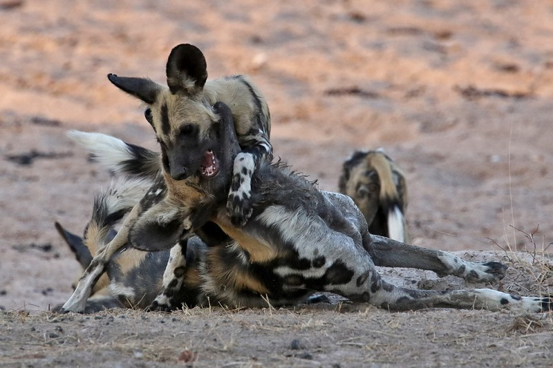 African wild dog - Wildlife, animals and nature