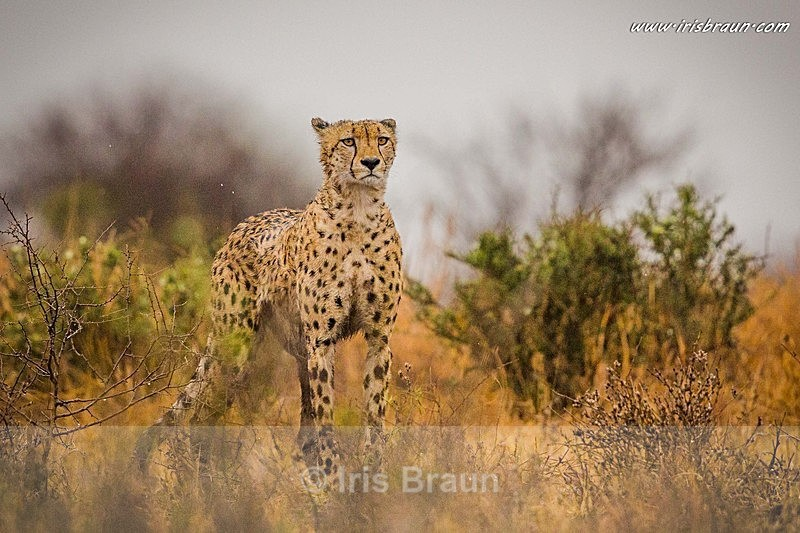 Wet Cat - Cheetah