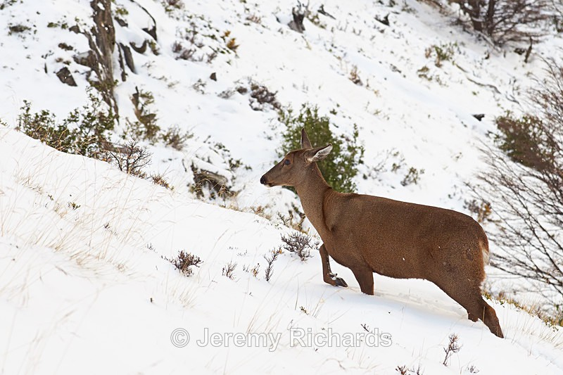 South Andean Deer - Wildlife of Chile