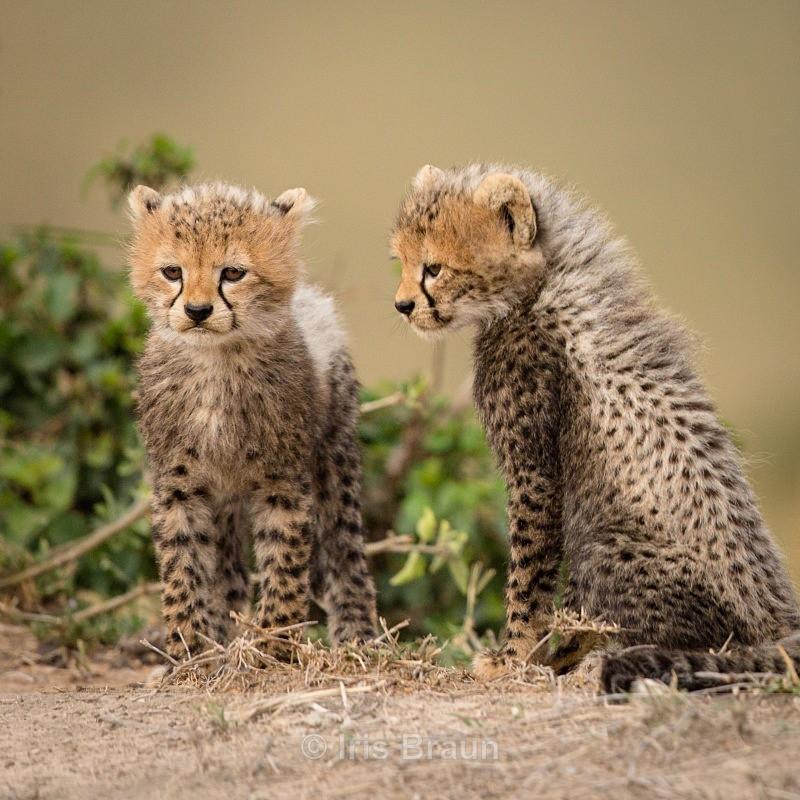 Baby Meeting - Cheetah