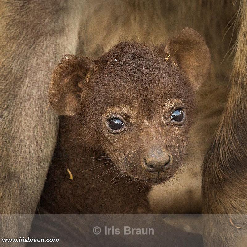 Baby Hyena - Hyena