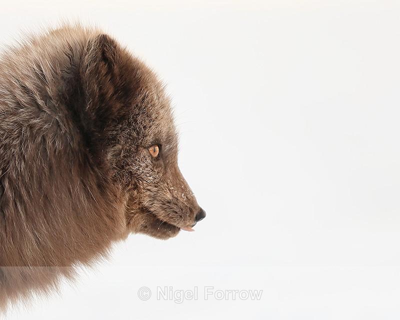 Arctic Fox profile, Svalbard, Norway - Arctic Fox