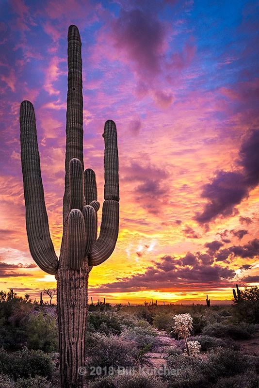 Lost Dutchman Saguaro - Current Show