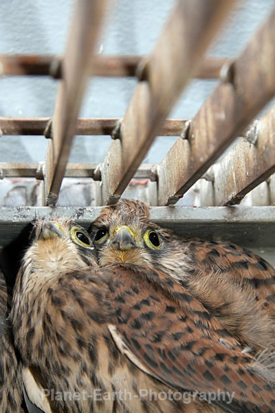 Nesting Kestrels 2 - UK Wildlife