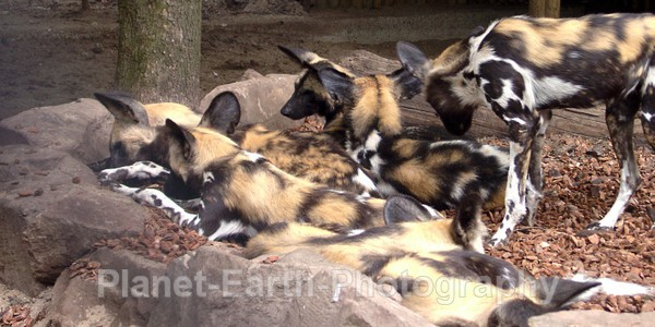 Wild Dog Pack 2 - African Wild Dogs