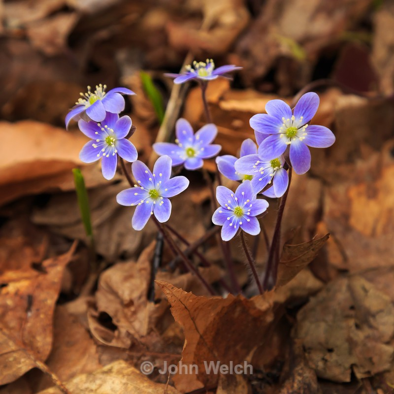 Hepatica - Details on the trail