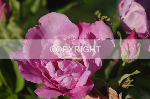 A domestic Rose - The Flower Shop