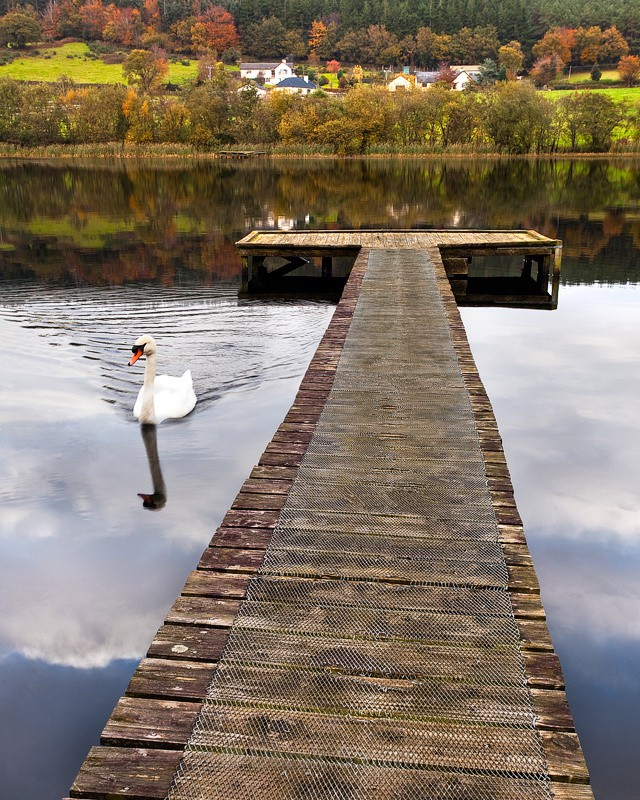Graceful Swan In Tranquil Autumn Reflection