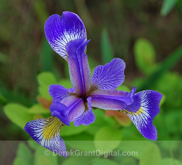 Blue Flag Iris - Flora