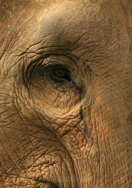 Elephant Eye - Elephant