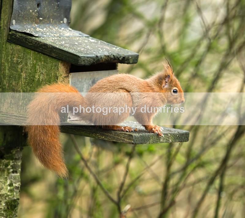 Red Squirrel 16 (disambiguation). - Eskrigg Nature Reserve Lockerbie
