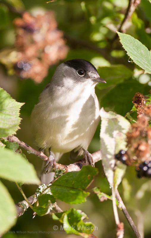 Blackcap - Mid-Wales - Garden birds