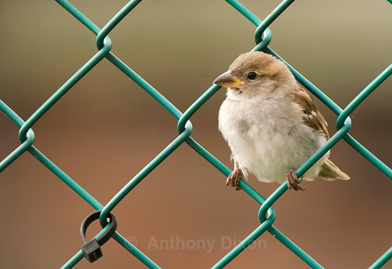 House Sparrow - Latest Images