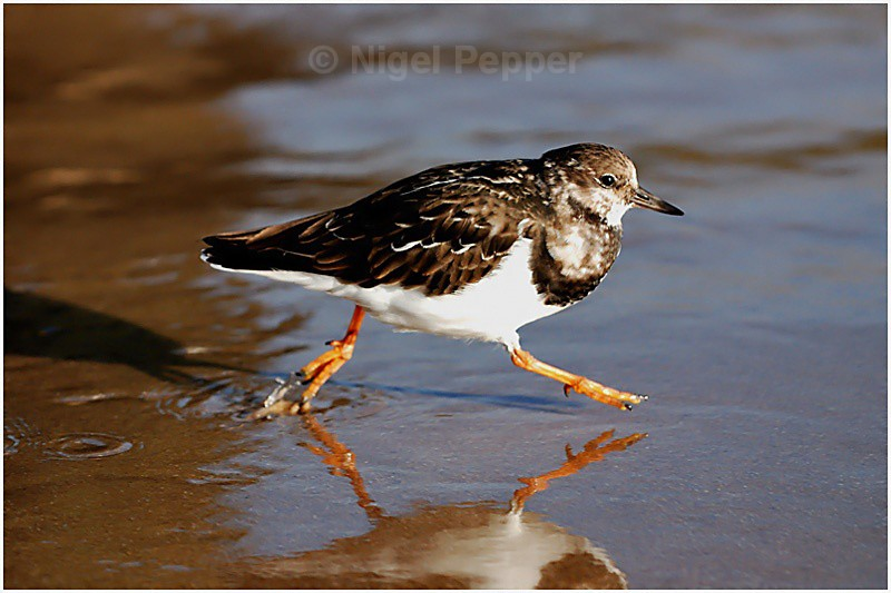 Turnstone (1) - Sanderlings and Turnstones