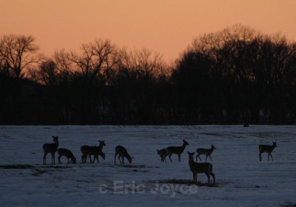 Deer at dusk - SW Minnesota