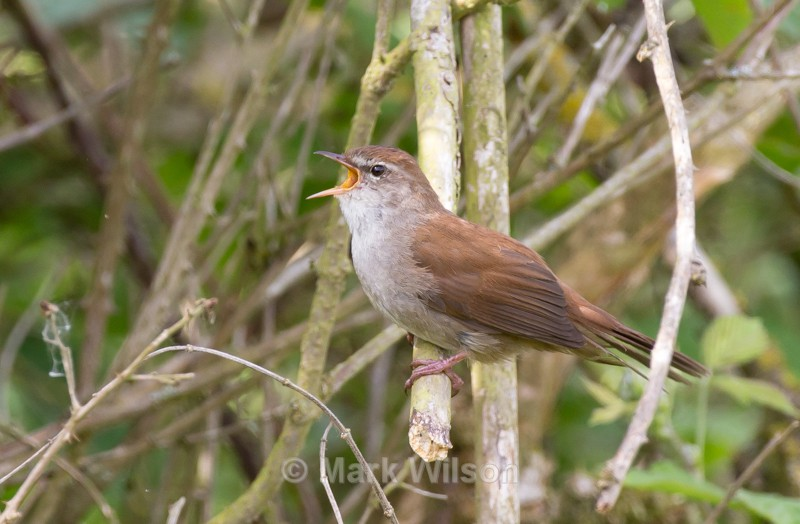 Cetti's Warbler - The rest.....