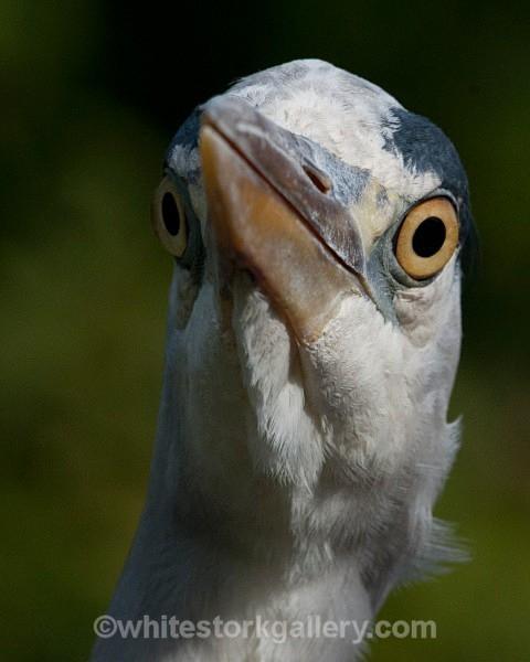 Great Blue Heron - Wildlife and Animals