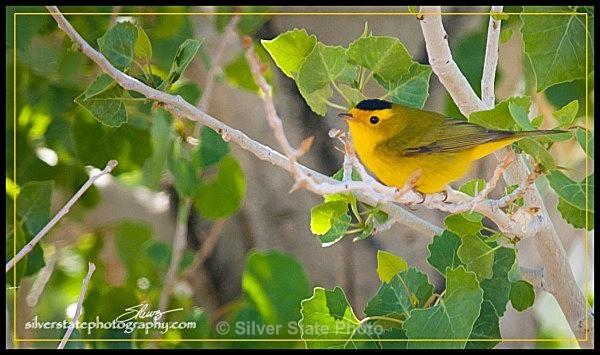 IMG_4263-b-web - Nevada Birds