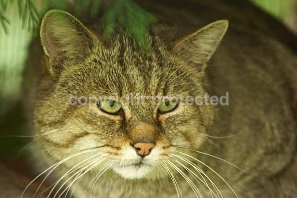 Eurasian Wild Cat - Cat Survival Trust - Big and Small Wild Cats