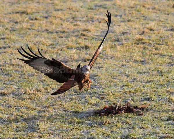 argaty jan -93 - Birds of Prey