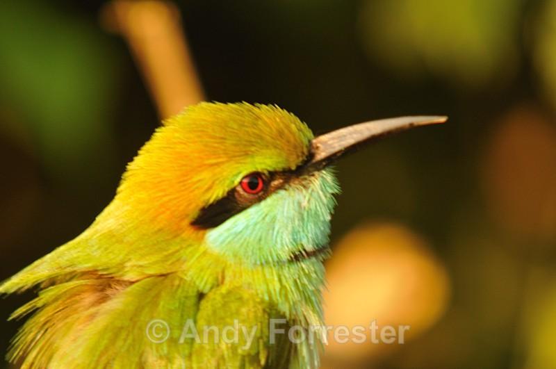 Bee Eater - Yala Sri Lanka