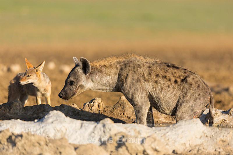 Unlikely Friends - Hyena