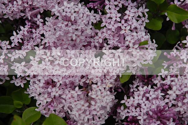 lilac DSC_1874 - The Flower Shop