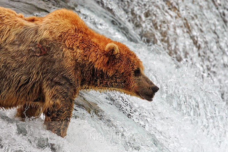 Grizzly Bear waiting at the top of Brooks Fall for jumping salmon - Brown Bear