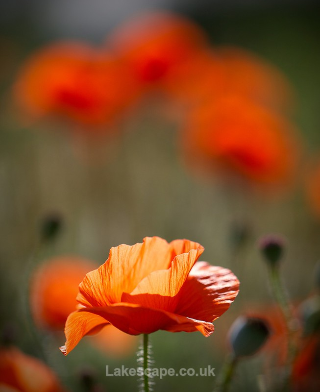 Summer Poppies 4075 - Flowers