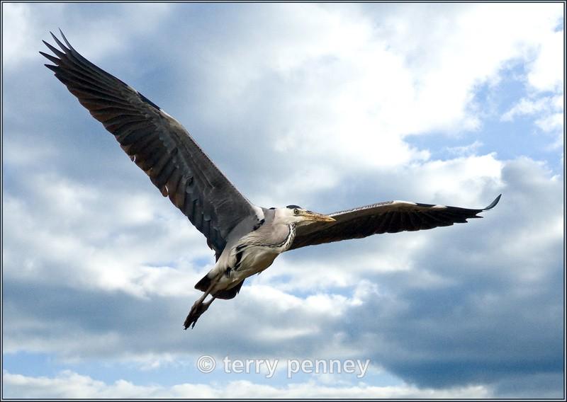 Heron - Birds