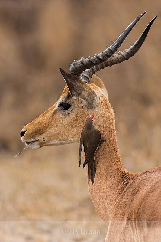 Symbiosis - Antelope
