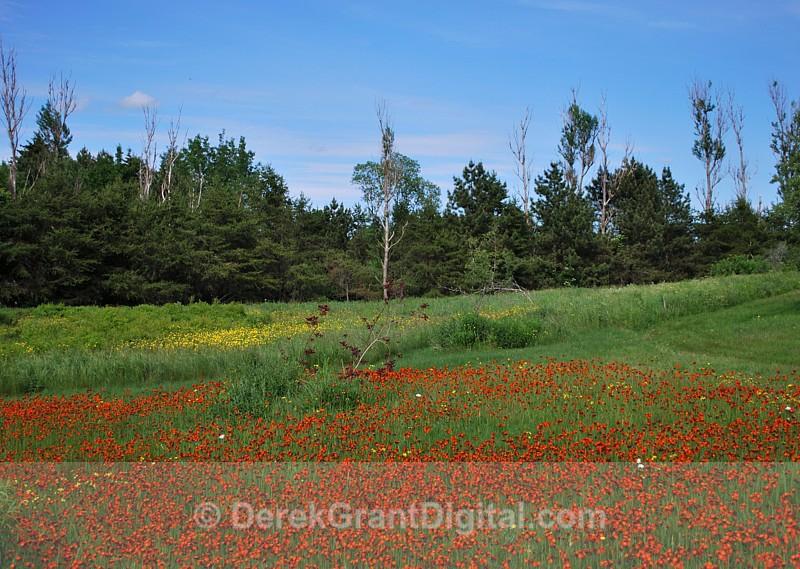 Orange Hawkweed in June - 3 - Flora