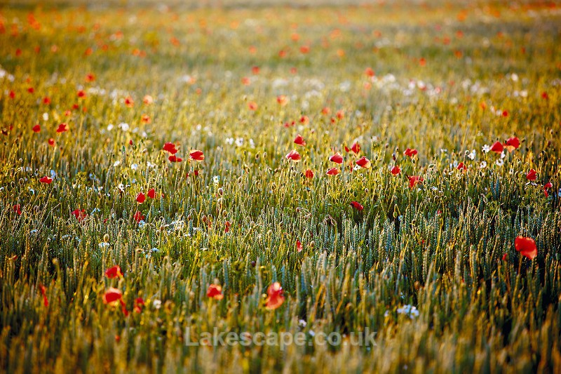 Poppies & Wheat 0033 - Flowers